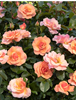Monrovia Growers: Seaside Serenade® Hydrangea & Nitty Gritty™ Groundcover Roses -